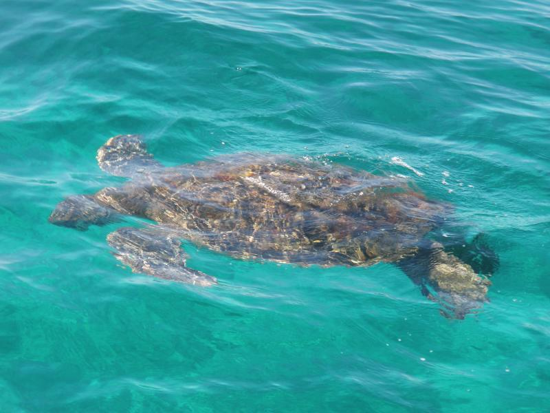 Sea turtles are a daily sighting from the condo
