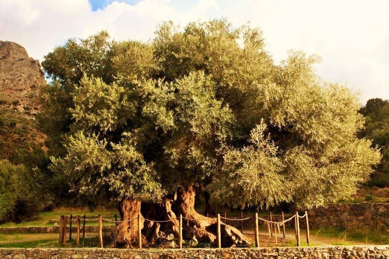 Kavousi village, biggest olive tree