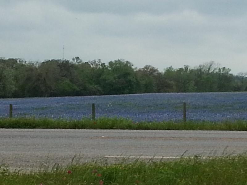 Lokale weergave van voorjaar bluebonnets