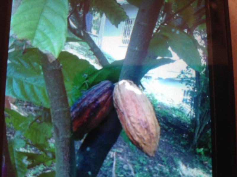 cacao peulen op tree(chocolate)