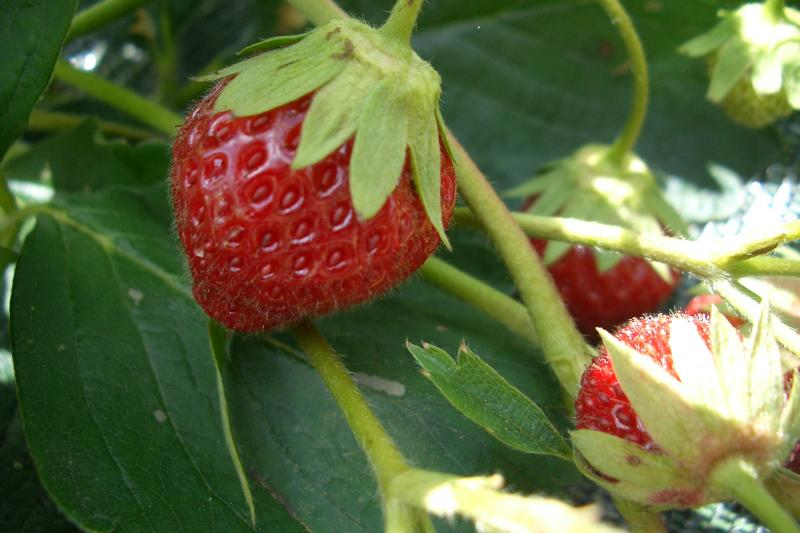 Our organic strawberries come fresh from the garden.