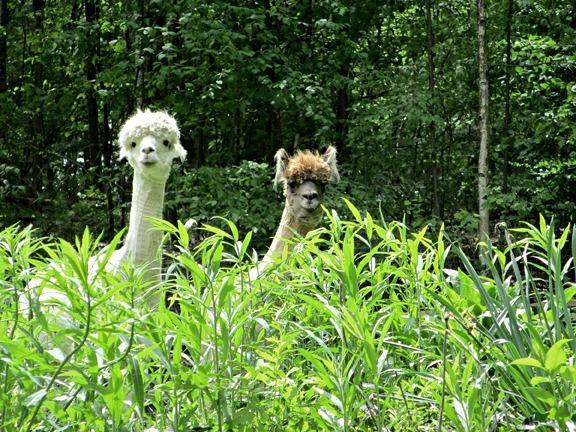 Beethoven y Sebastian, alpacas residentes de nido de la lechuza