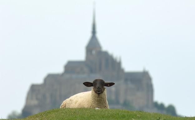 pré salé sheep
