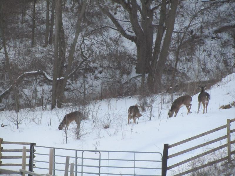 Deer on snowshoeing and hiking trail