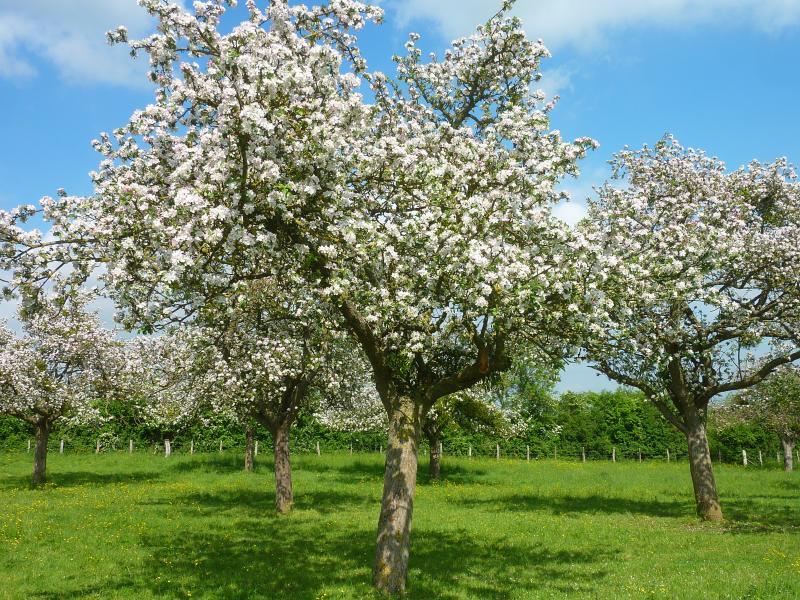 Pommiers en fleurs au printemps, chaque saison a son charme.N'hésitez pas à nous demander des infos
