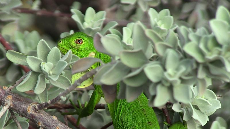 Young Iguana in our garden