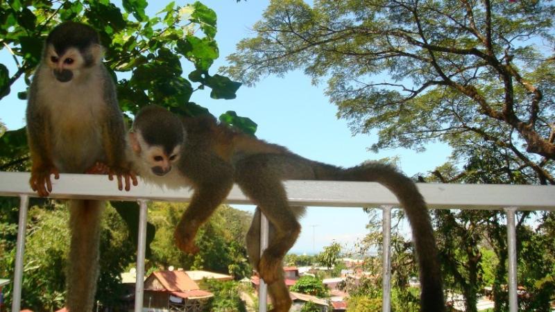Titi monkeys in your balcony.