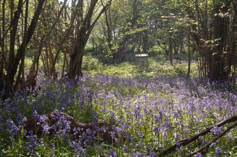 Beautiful bluebell woods in April and May near Greenland Glamping