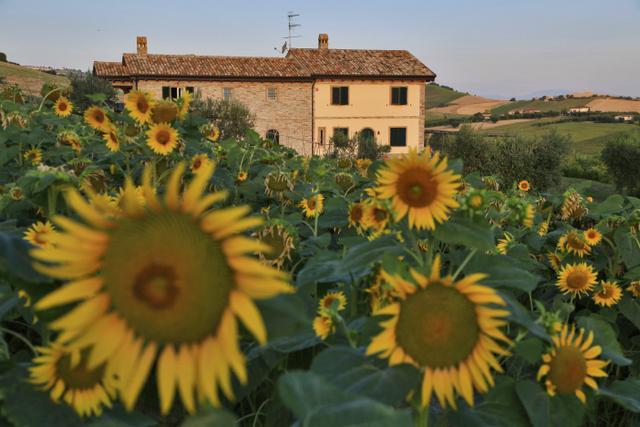 Cà Nick and Sunflowers