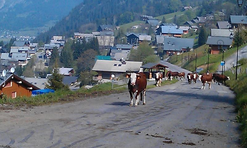 Cows moving to higher pasture in the spring, past the apartment
