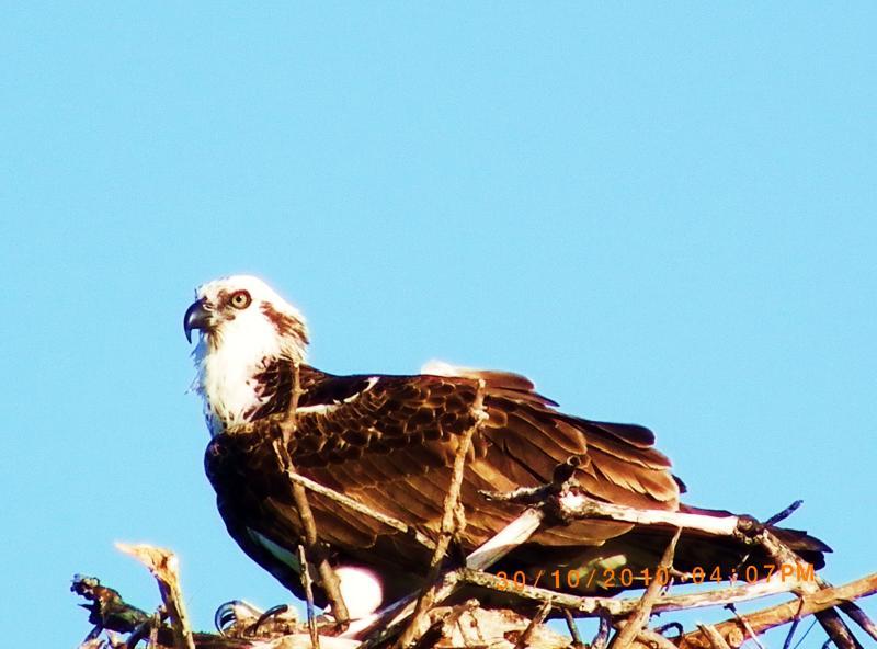 El águila pescadora en la pista de aterrizaje