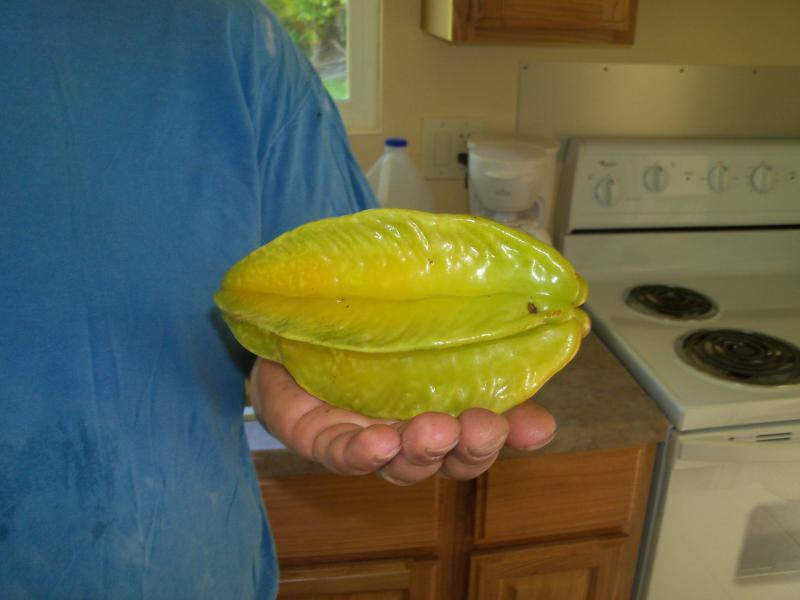 Sometimes our trees will have star fruit this big, we have two star fruit trees.