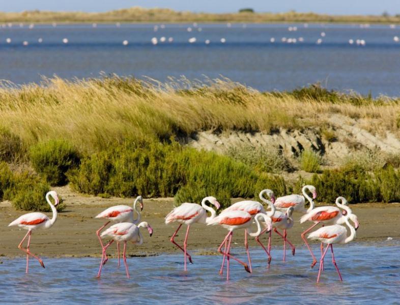 Famous Pink Flamingos of La Petite Camargue