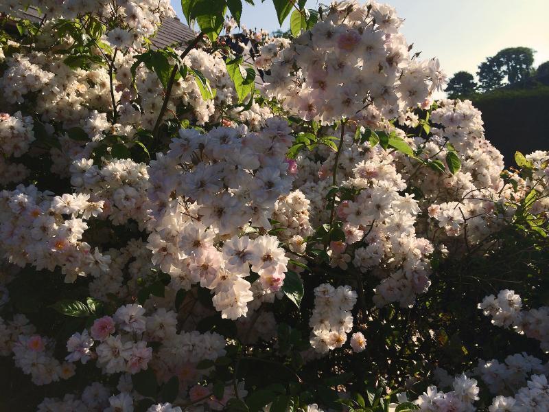Summer rambling roses outside Woodpecker Barn