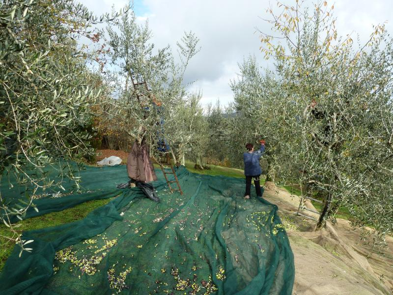 A colheita da azeitona em pleno andamento
