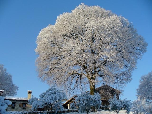The centuries-old Hackberry tree ' ' in winter