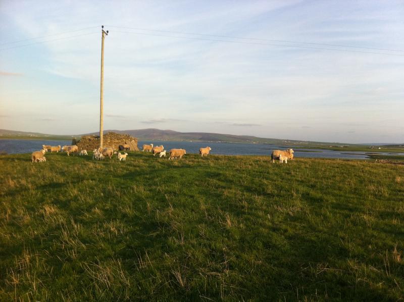 Lambs enjoying a spring day