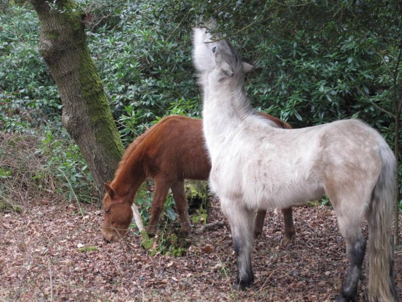 Hungry New Forest Pony