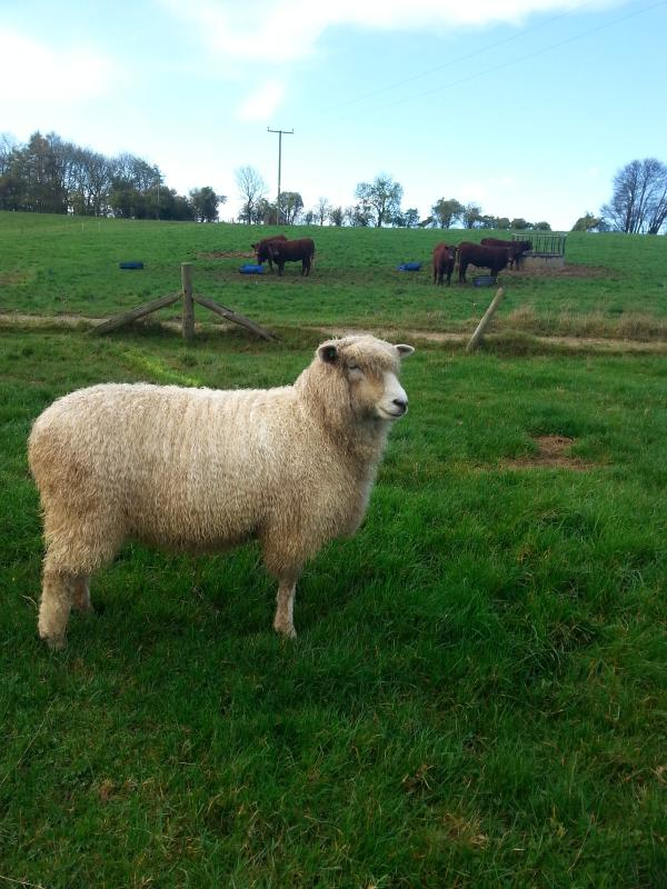 one of our cotswold ewes