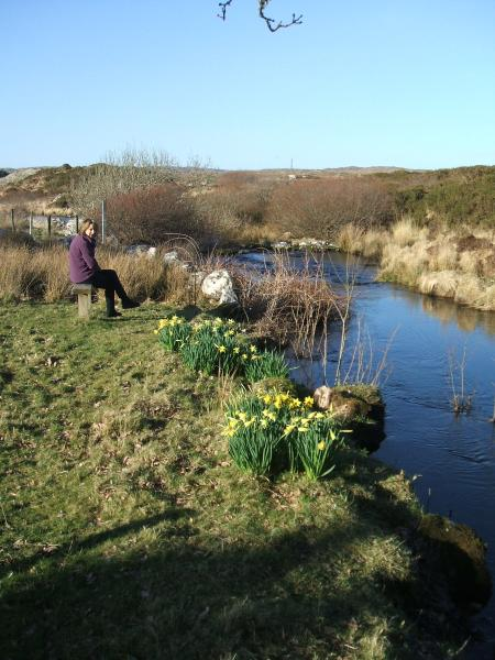 Daffodils along river bank in full bloom March 2017.