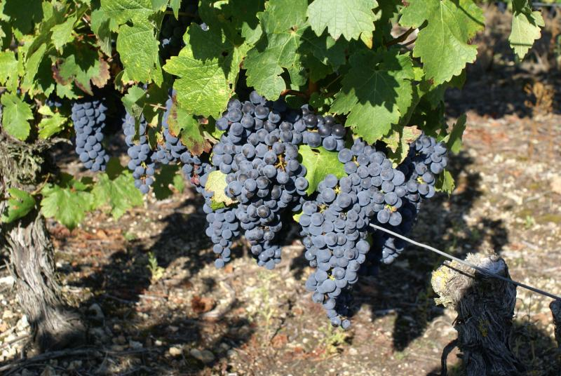 Vineyard in September - come for Vendange and taste the grape juice as it ferments! or just buy wine