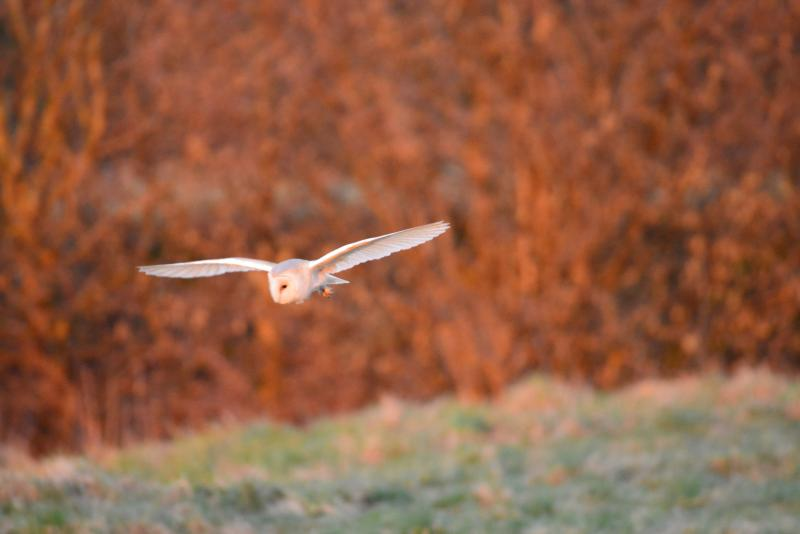 Barn Owl flying over the meadow