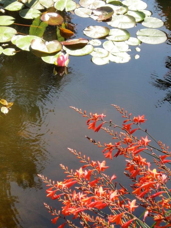Pond with lotus & mons bresia