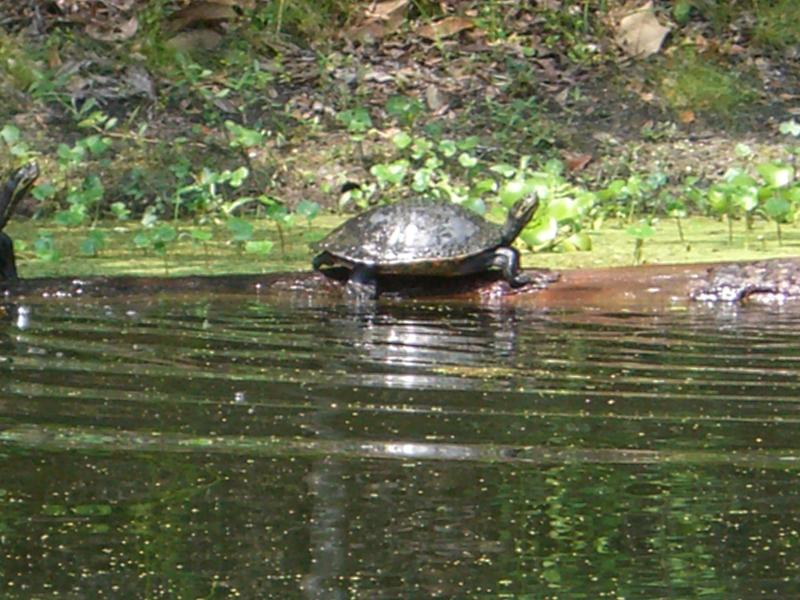 Our lazy turtle neighbors