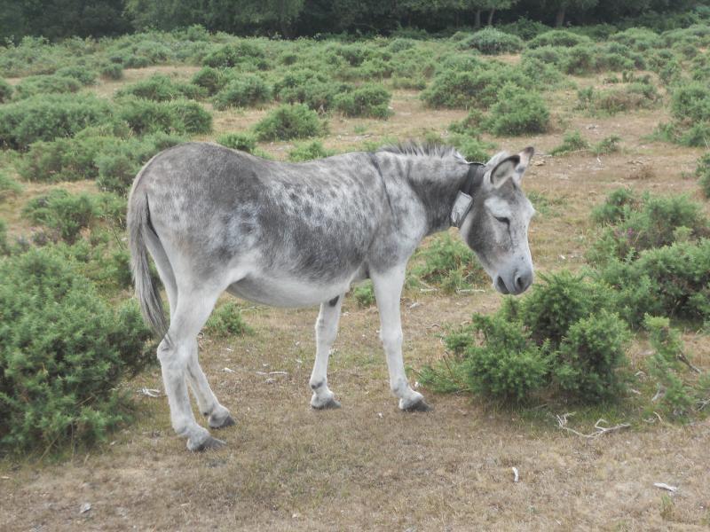 Donkeys everywhere in Brockenhurst!