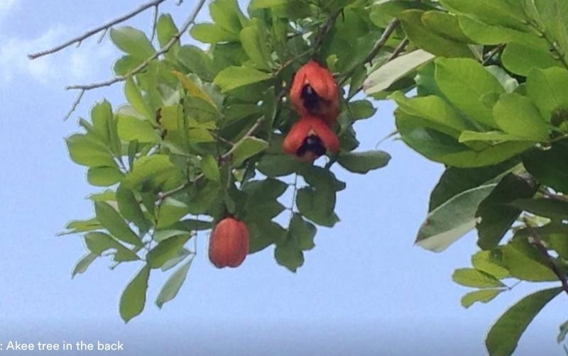 Ackee national fruit on property...get Annette to make you Ackee and Saltfish!