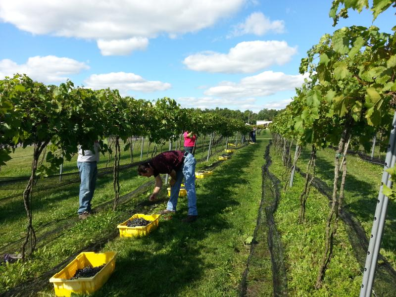 Vineyard during harvest.