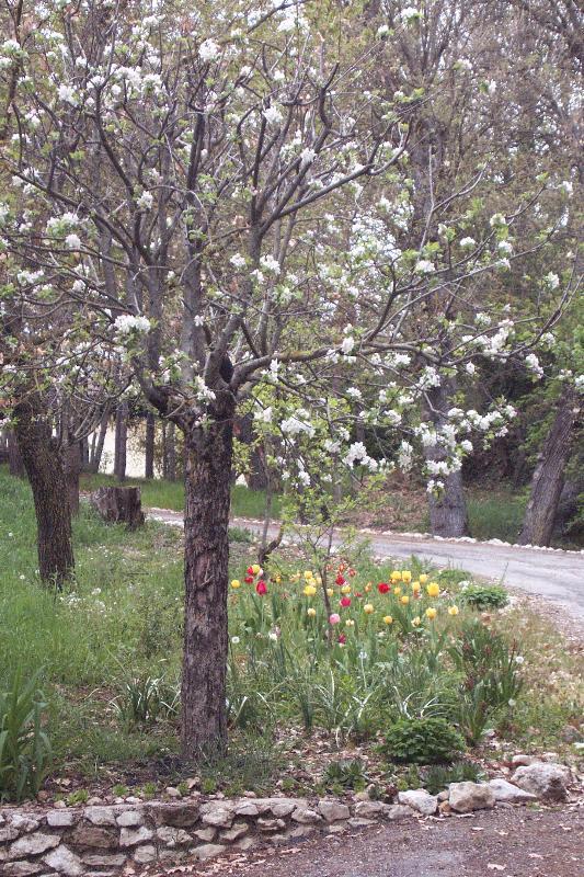 Particolare del giardino, un melo in fiore