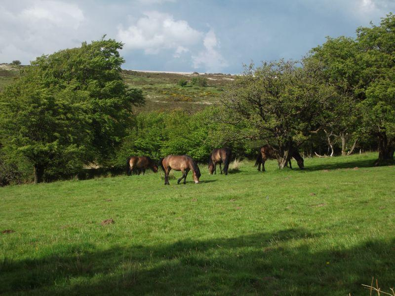 Exmoor ponies on the moorland