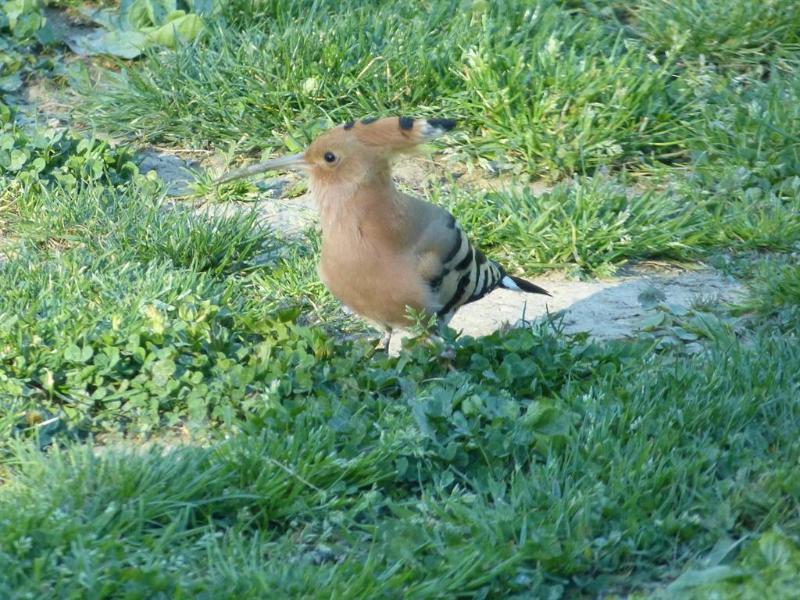 Hoopoe , a spring/summer visitor to the garden