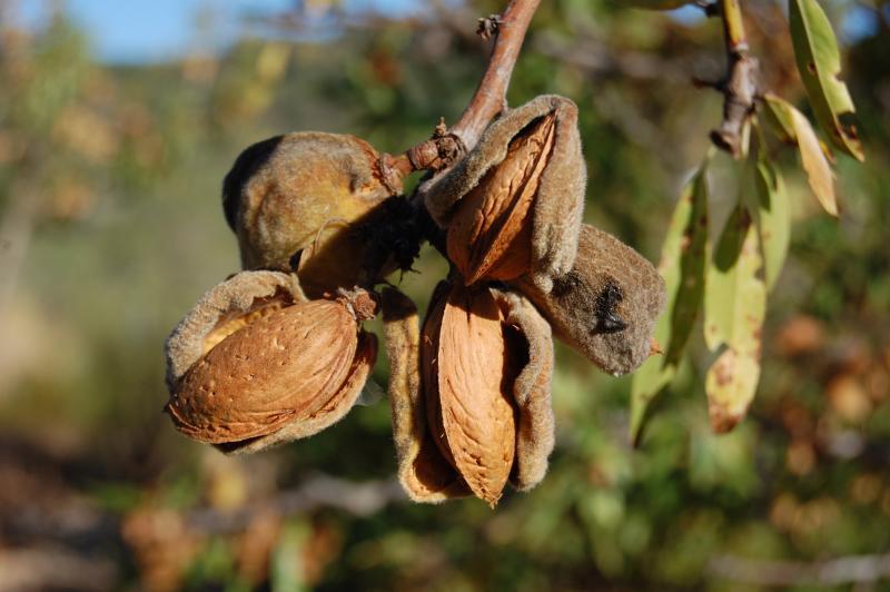 Almond more Fullat