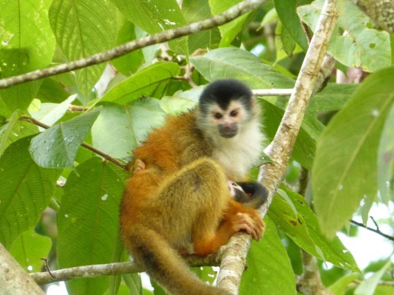 Baby Titi Monkeys (maart - juli)