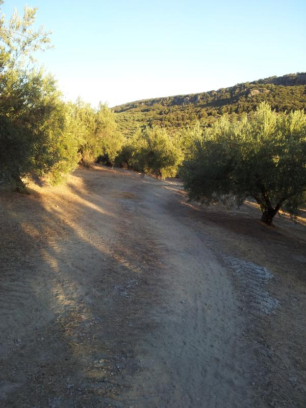 An evening stroll through the olive grove below the house