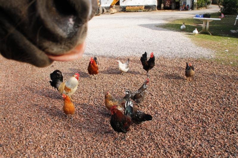 Notre poney 'Kiwi' et les poules!