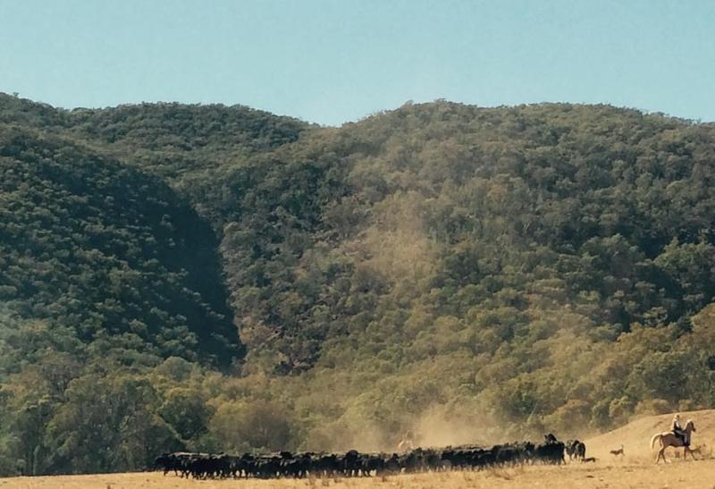 Mustering cattle with magnificent Mt. Elliot as backdrop
