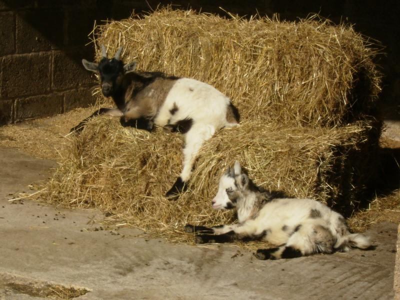 Billy and Twinkle our pet pygmy goats