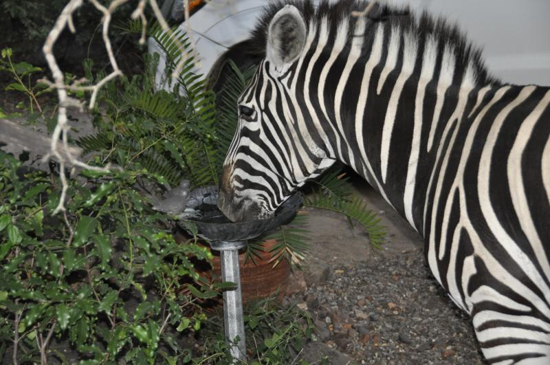 Zebra having a drink from the bird bath.