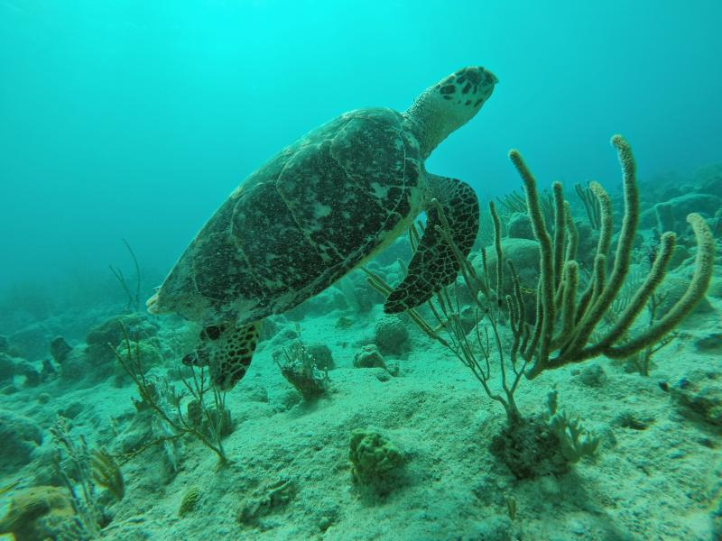 Turtles can be easily spotted at the Sapphire beach