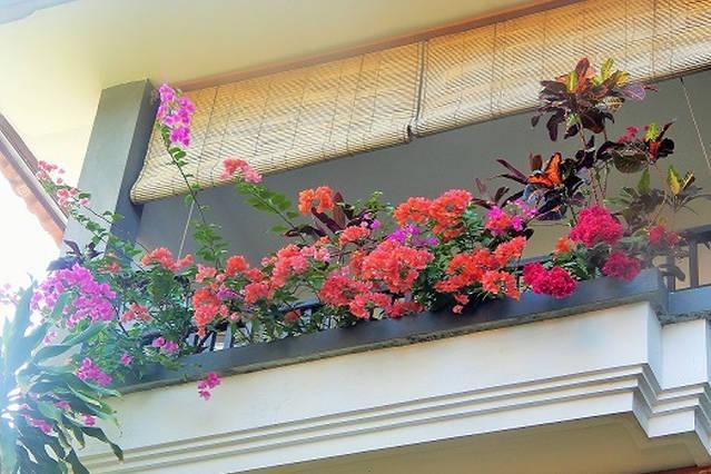 floraison de bougainvilliers sur la terrasse