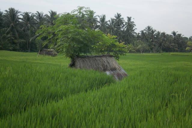 les rizieres d Ubud