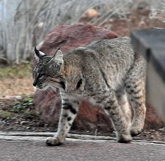 Even an occasional bobcat strolls through...