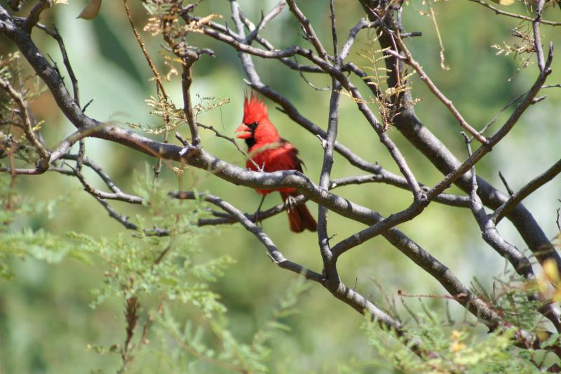 A western cardinal family makes its home on the property. Here the male...