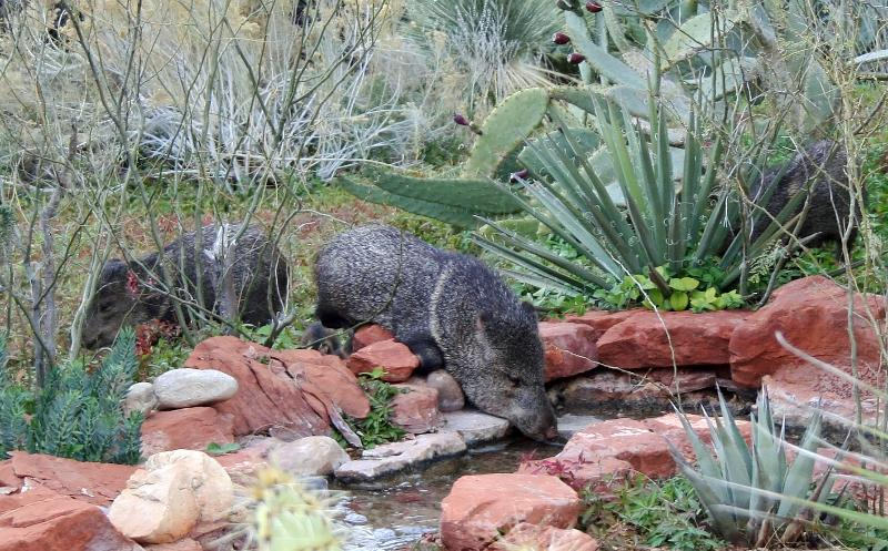 Javelina herds come regularly to drink and graze...