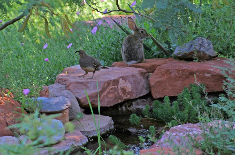 But you'll see lots of cottontails either at the pond or grazing on the Mexican primrose