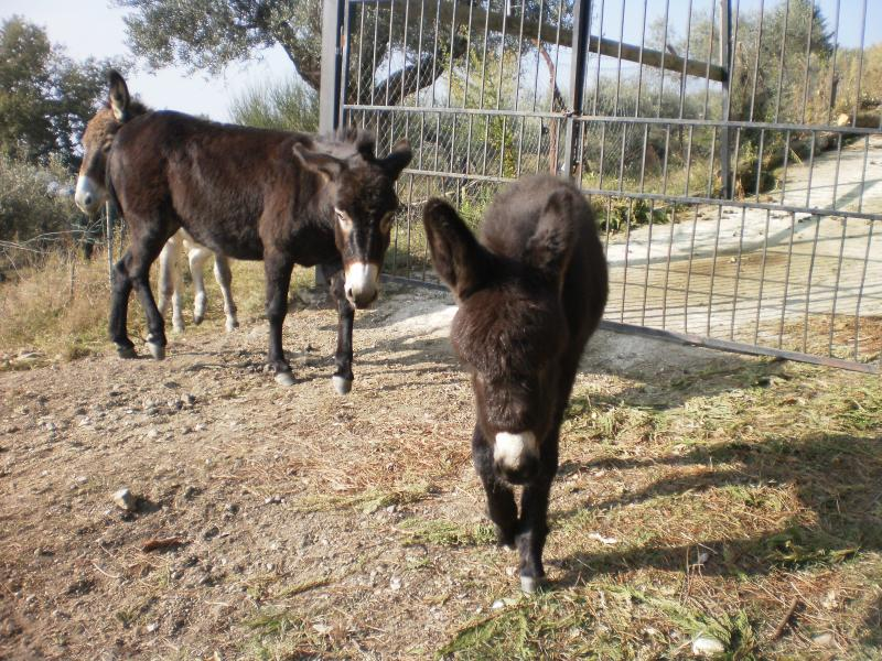 On the other side of the fence there is a large olive groove, with four tame donkeys which are a bi