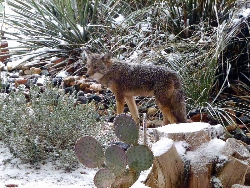 ...and now and then a coyote, though you'll hear 'em a LOT more than see 'em!